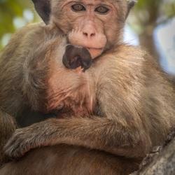 The Toque Macaque, Sri Lanka