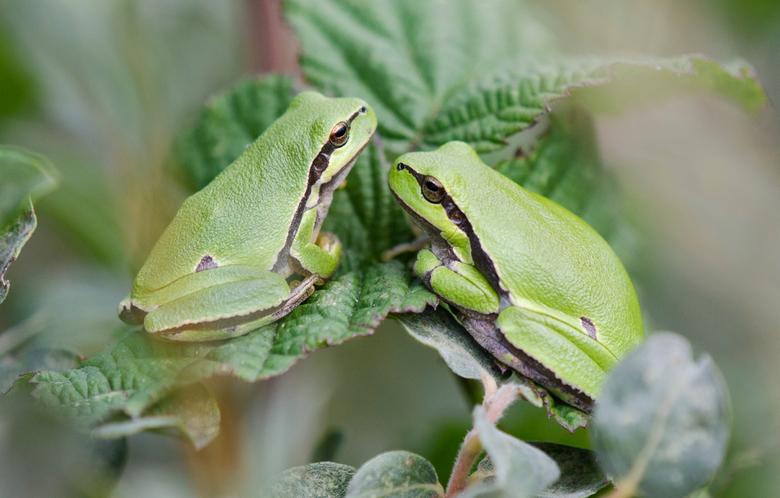 Treefrogs -