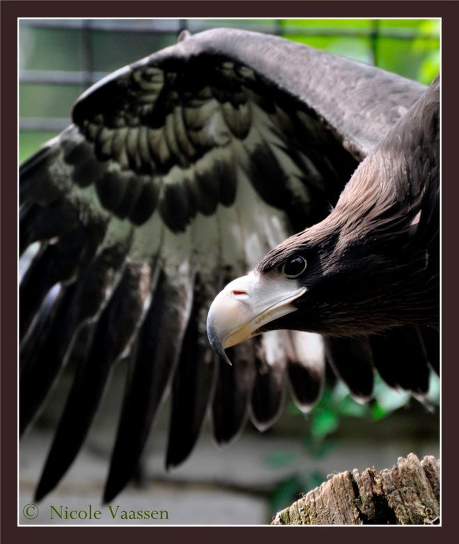 adelaar - Welke adelaar dit is ben ik alweer vergeten. Ik heb hem gefotografeerd in de dierentuin van liberec.