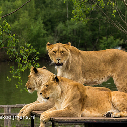Leeuwen in Hilvarenbeek