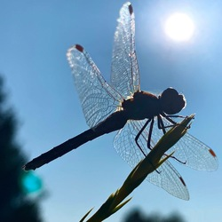 Libelle silhouet