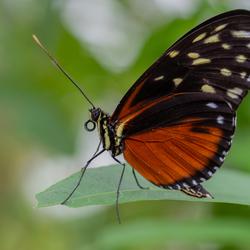 Vlinder, Passieflorahoeve