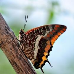 Jasiusvlinder of Pasja (Charaxes jasius).
