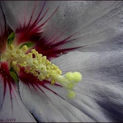 Hibiscus....