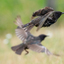 Opvliegende spreeuwen