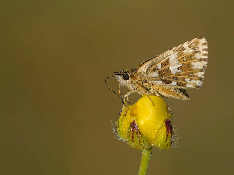 Aardbeivlinder - aardbeivlinder  (Pyrgus malvae)<br /> <br /> <br /> De aardbeivlinder vliegt vooral in de maand mei en is te herkennen aan het wit