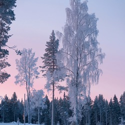 Lapland - Frozen trees