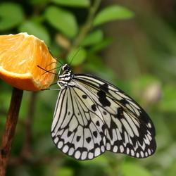 Vlinder Voedsel