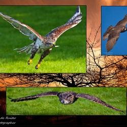 Compilatie roofvogels