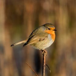 Robin on top