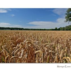 Graanveld in de polder