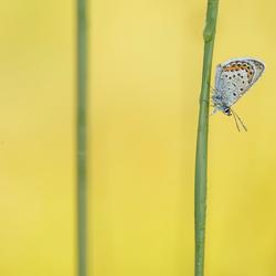 Heideblauwtje met lijnen