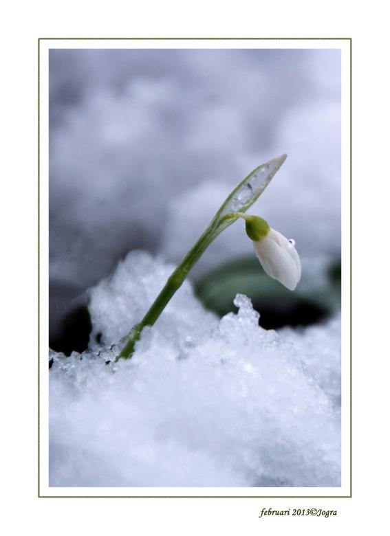 Sneeuw-klokje