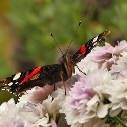 Vlinder op herfstbloem