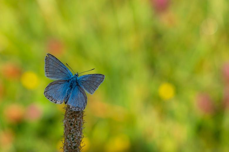Bleek blauwtje - Een bleek blauwtje in een bloemenveld in Oostenrijk.