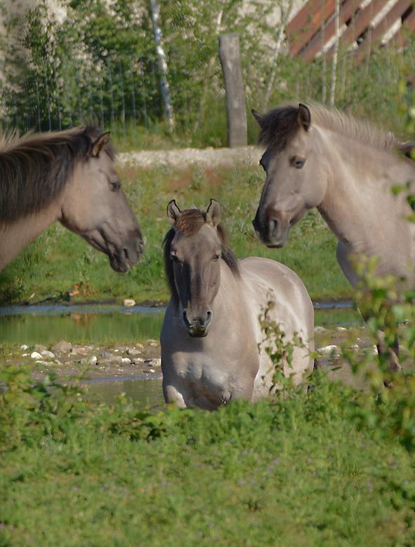 Konik paarden.