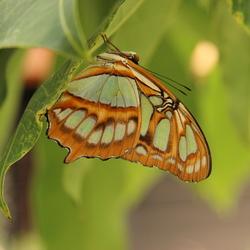 mooie vlinder in amazonica was moeilijk om de juiste belichting te krijgen hing onder de bladeren in een plant en je moet vlug zijn want ze zijn zo weer weg.