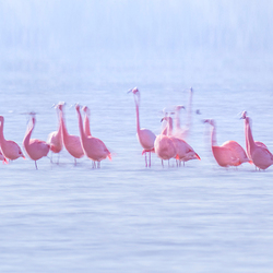Flamingo's in beweging