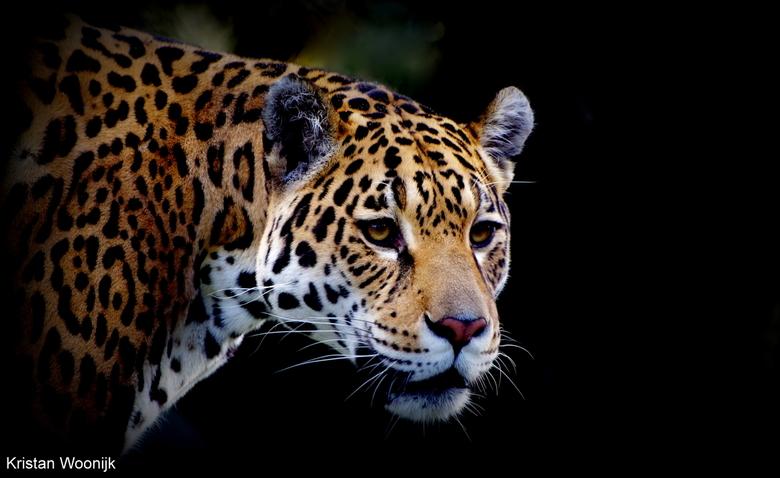 Jaguar -