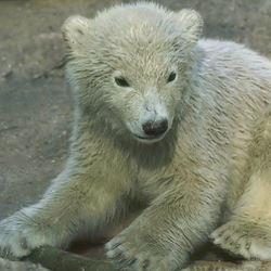 Bewerkt ijsbeertje
