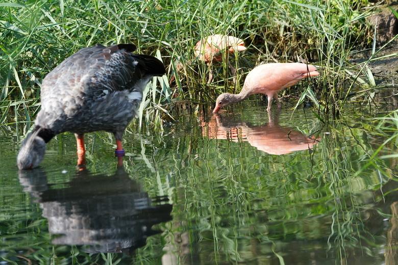 Rode Ibis met andere vogel - Rode Ibis met andere vogel met spiegeling in het water.Bedankt voor de reacties op mijn vorige upload.
