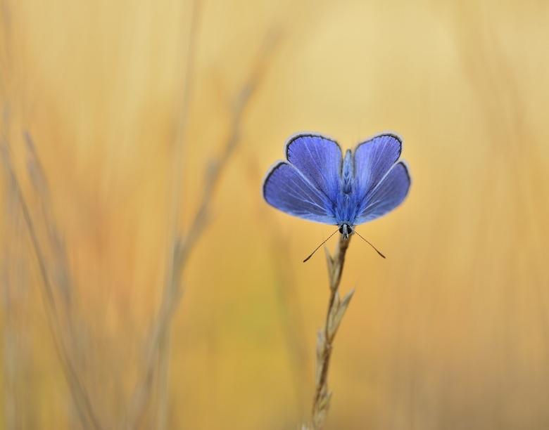 bleu - mooie blauwe vlinder