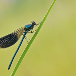 Blauwe schoonheid