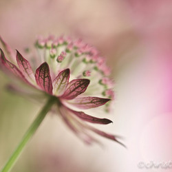 astrantia delight