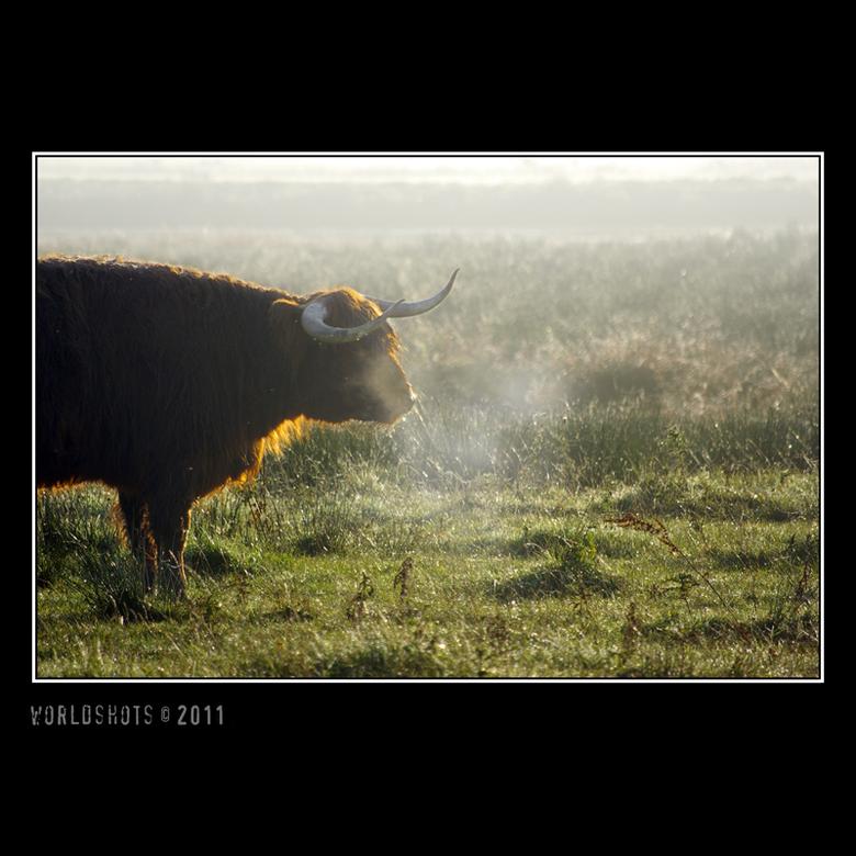 koe in mist - Schotse Hooglander in zeer vochtige omgeving