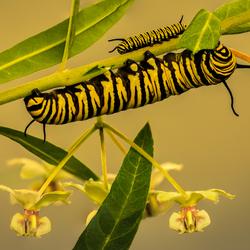 Monarchrupsen