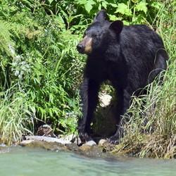 Is de grizzly weg....
