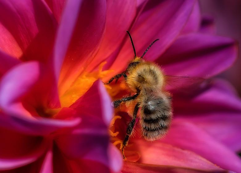 Dahlia - de laatste dahlia&#039;s in de (moes)tuin met nog volop bezoek van de honingbijen van een moestuin buurman.<br /> <br /> Allen bedankt voor