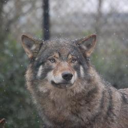 """""""Weer'' wolf"""
