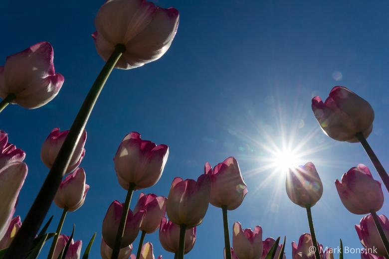 Tulips - tulpen flevoland