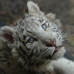 Wit tijgertje