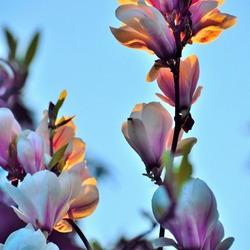 Magnolia sunset