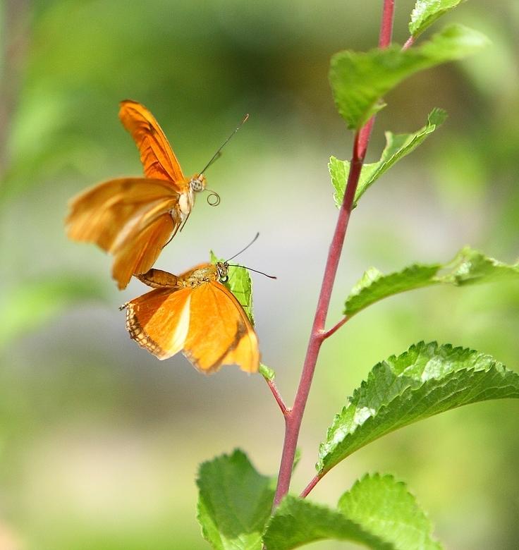 Oranje passiebloemvlinder - Deze vlinders wilden hun passie voor elkaar wel in beeld brengen.<br /> Foto in vlindertuin gemaakt.<br /> Dank voor de