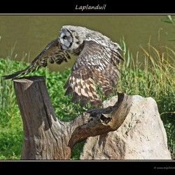Laplanduil