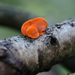Oranje bekerzwam