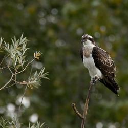 _Visarend Osprey