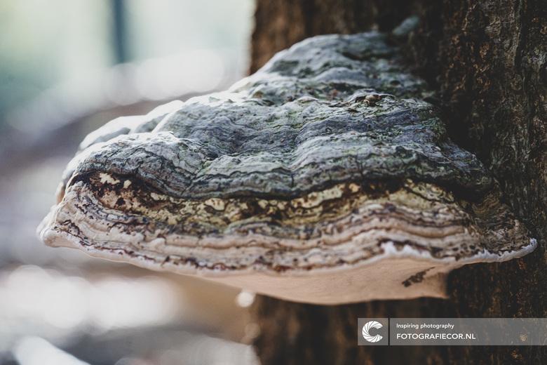 Decoratieve Tonderzwam - Zo'n vreemde parasiet aan een boom krijgt opeens een heel andere betekenis: De tonderzwam (ook wel tondelzwam genoemd) w