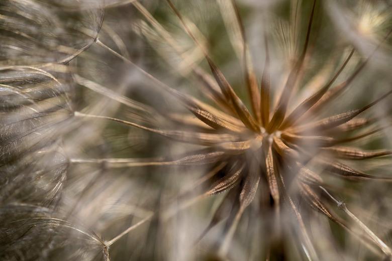 Seed of Dandelion- zaad van de paardebloem.1