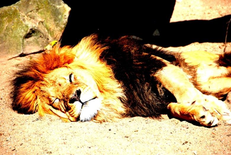 just chillin - Deze leeuw ligt lekker te relaxen na een maaltje kip in Artis. In het wild eten leeuwen gemiddeld 1x per week na een succesvolle jachtp
