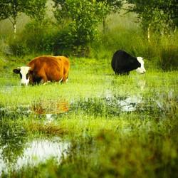 Hollandsche waterbuffels