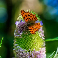 Vlinder op Kaardebol