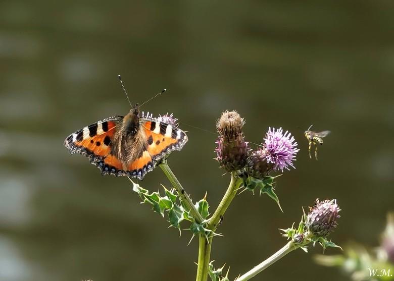 De Kleine Vos - Deze prachtige vlinder zag ik langs de Vecht.