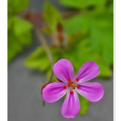 Het laatste roze bloempje in de reeks