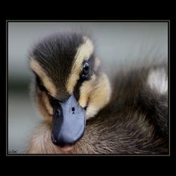 Little Duck  *