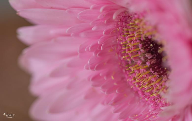 De gerbera - een dankbare bloem voor macrofotografie de gerbera!