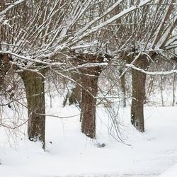 sneeuw aan de wilgen hangen